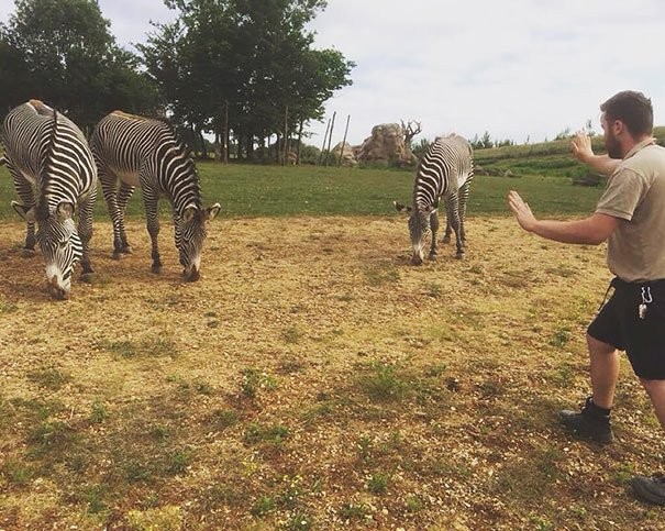 Trabajador de un zoológico con 3 cebras