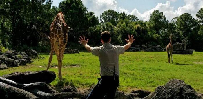 Hombre que trabaja para un zoológico frente a unas jirafas
