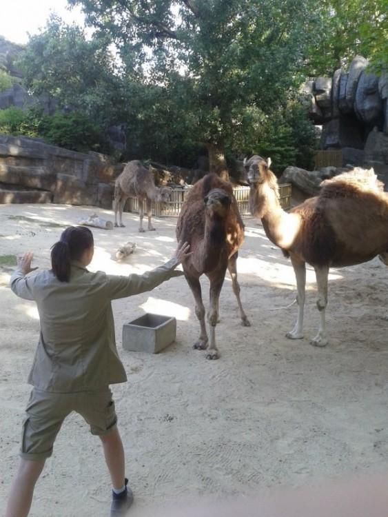 Mujer en el zoológico de china frente a unos camellos