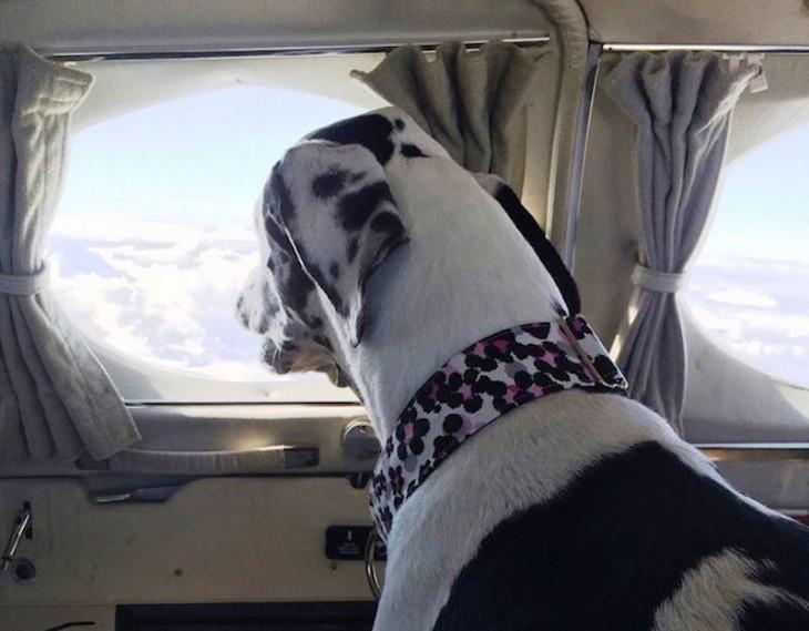 perro observando por la ventana dentro de un avión rescatado por la organización alas de rescate