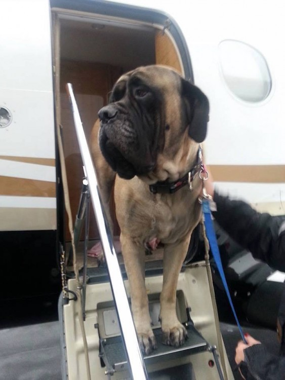 Perro bajando de un avión de la organización alas de rescate