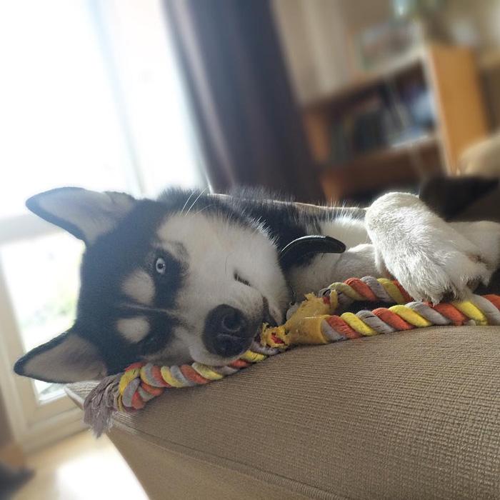 Husky que no va por la pelota