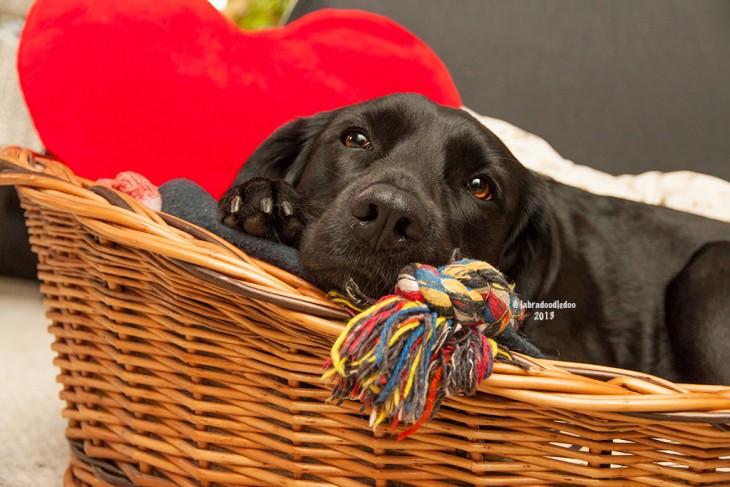 perro acostado en un canasto con un cojin rojo