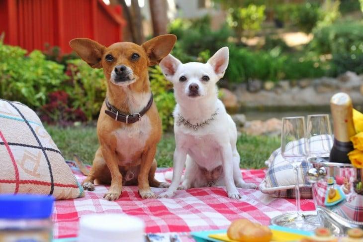 perros chihuahua en un día de campo
