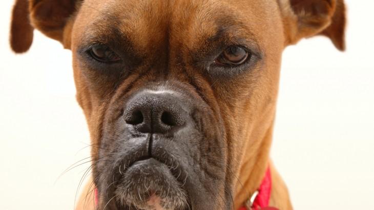 perro boxer enojado meme