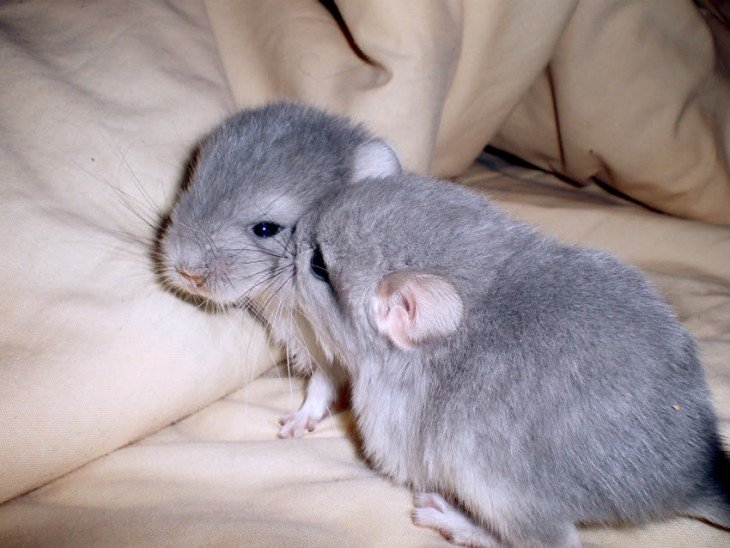 chinchillas bebé