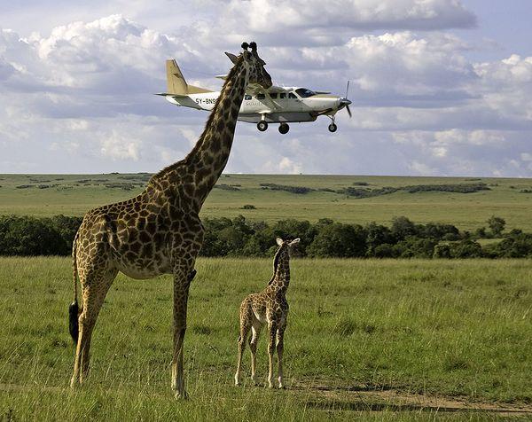 foto donde la girafa parece que va a agarrar el avión