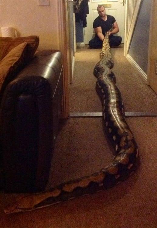 serpiente enorme más amplia que una habitación
