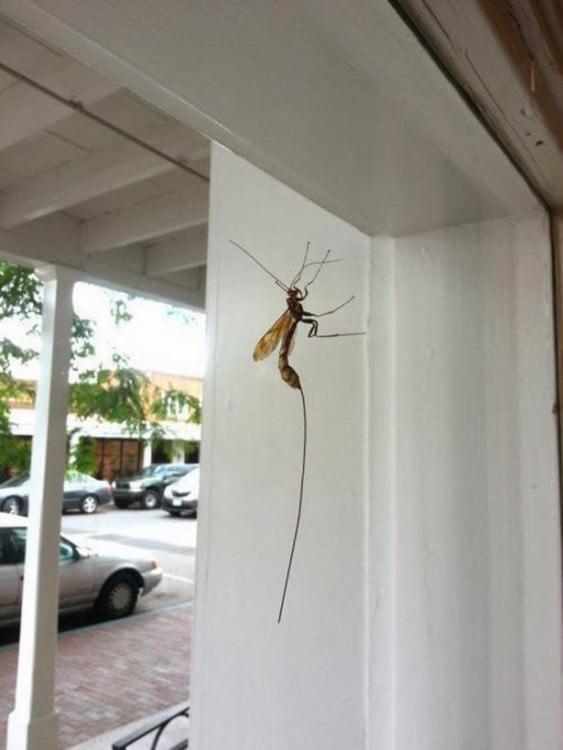 mosquito enorme parado sobre la ventana con un gran aguijomn