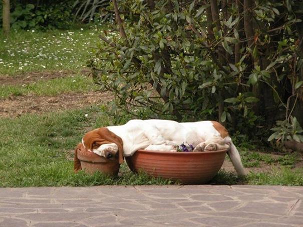 perro dormido sobre unas macetas de violetas