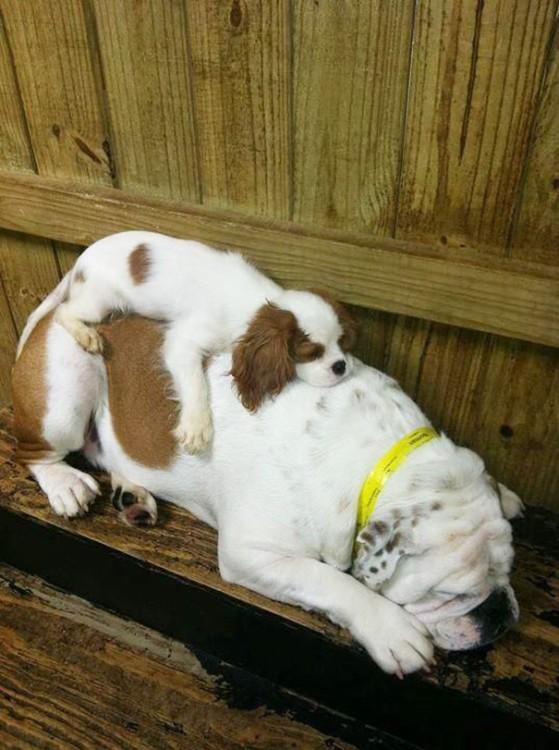 pero bulldog dormido en una orilla de la puerta del jardín