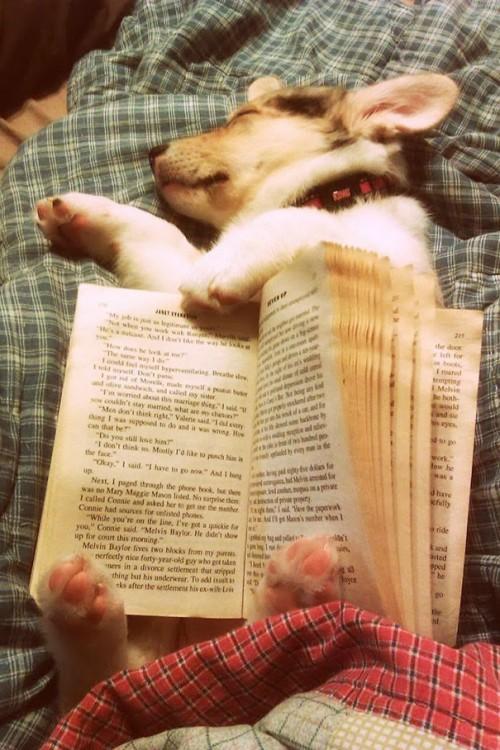 poero dormido bajo el libro en las piernas de su dueño