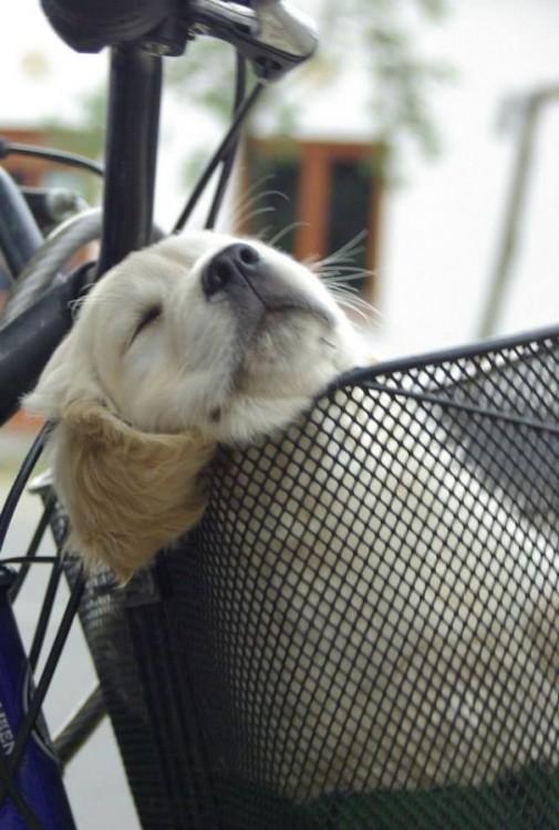 pero dormido en la canasta de la bicibleta