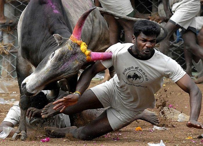 toro le encaja cuerno a hombre que ca coriendo huyendo de el