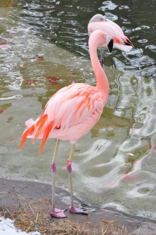 Flamingos en Calafate, Lago Argentino