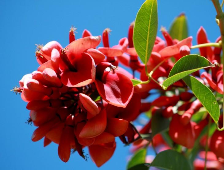 La flor nacional de Argentina es el Ceibo