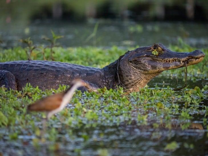 Caimán Yacaré en el pantanal en Bolivia