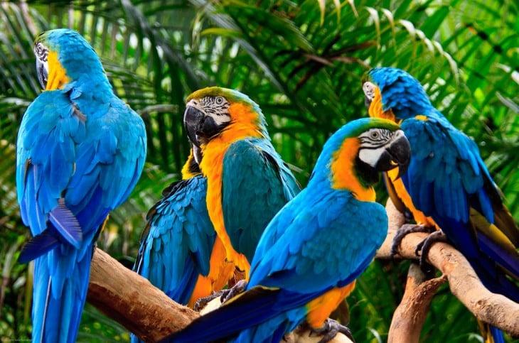 Guacamayos azul y amarillo, Bolivia