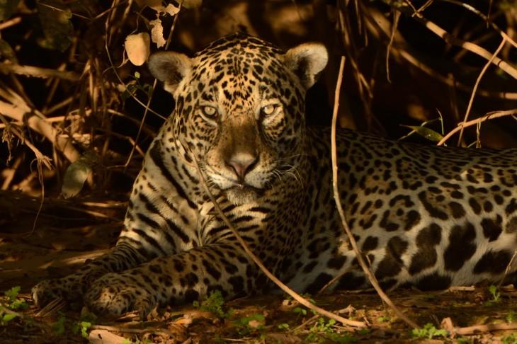 Jaguar en la zona de Porto Jofre, Pantanal, Brasil