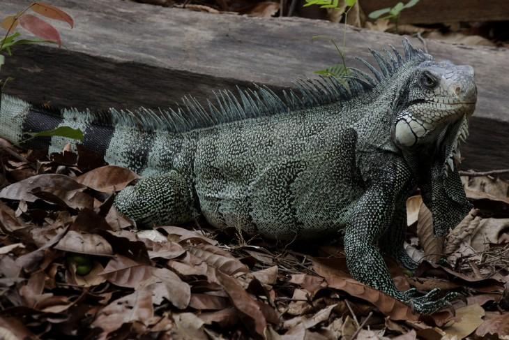 Iguana en la Selva Amazónica, Brasil