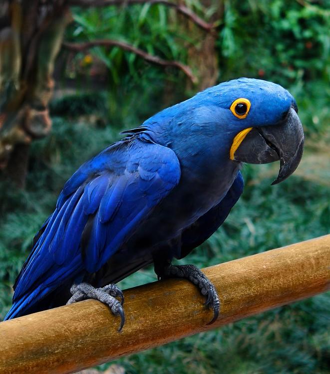 Loro Guacamayo Azul, Brasil
