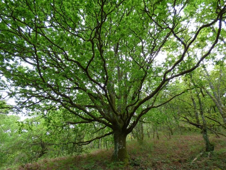 Roble Carvallo es uno de los típicos árboles vistos en los bosques de España
