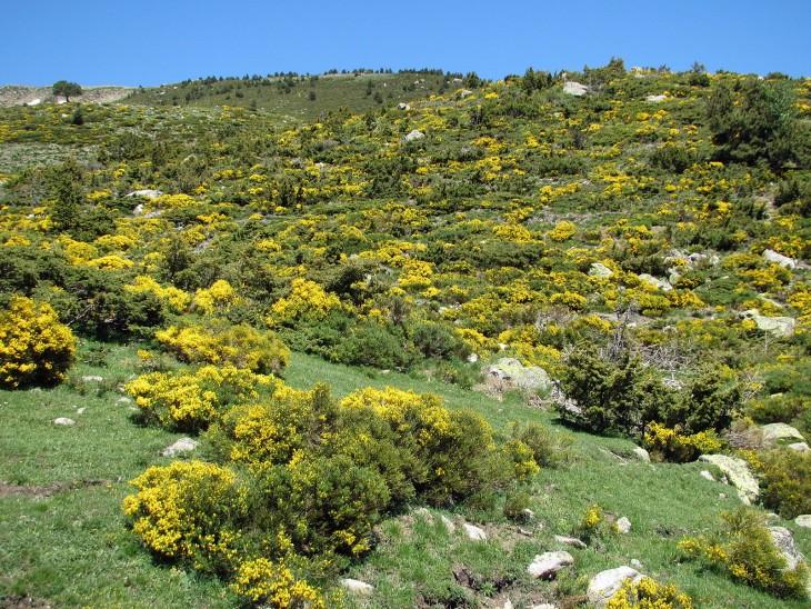 Planta de Cytisus oromediterraneus en la Sierra de Candelario en Salamanca, España