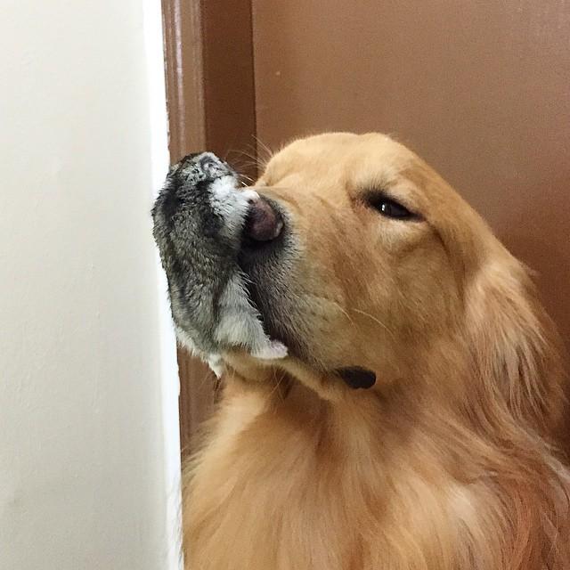 Hamster sobre la nariz de un perro