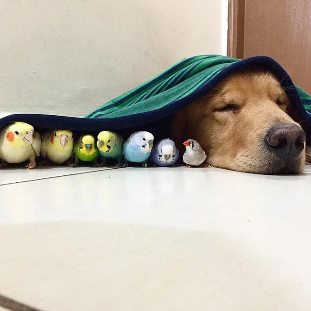 cabeza de un perro junto a 7 aves tapados con una cobija