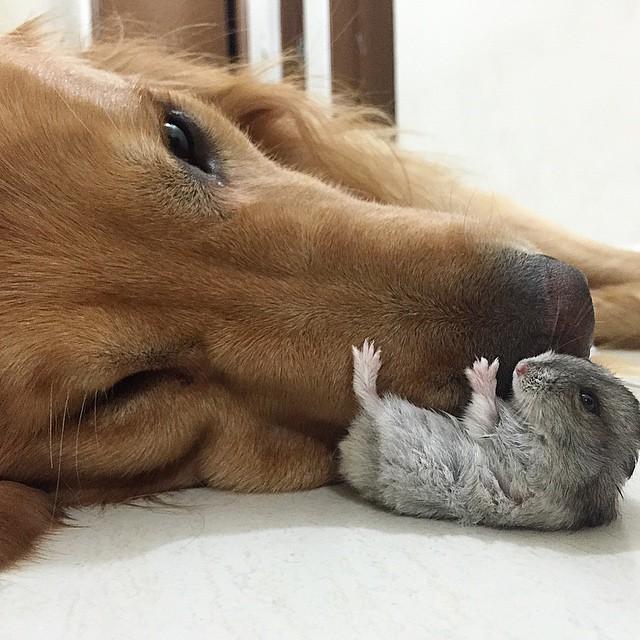 hamster cerca del hocico de un perro