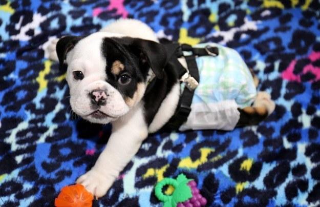 perro bull dog con pañal y unos juguetes alrededor