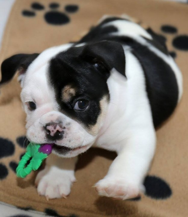 un pequeño perro bulldog mordiendo algo en su hocico