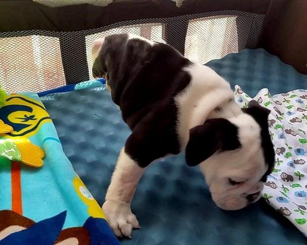 perro bull dog sobre dos patas dentro de una cuna