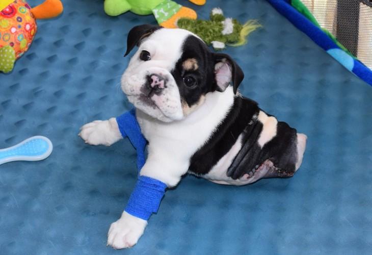 Bonsai el chachorro bulldog con la mitad de cuerpo