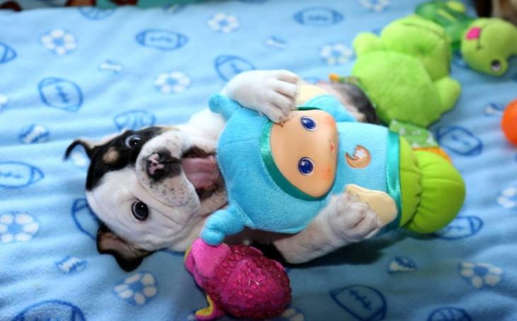 perro bulldog jugando con sus juguetes acostado