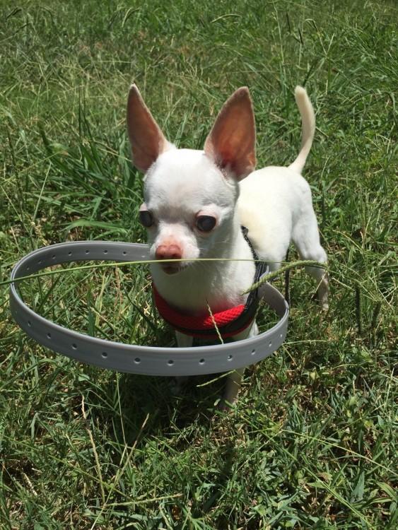 Perrito Buddy en un jardín con su collar especial para perrito ciego