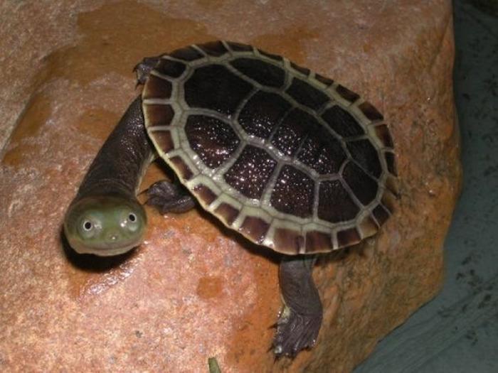 una tortuga con la cabeza de fuera viendo a la cámara