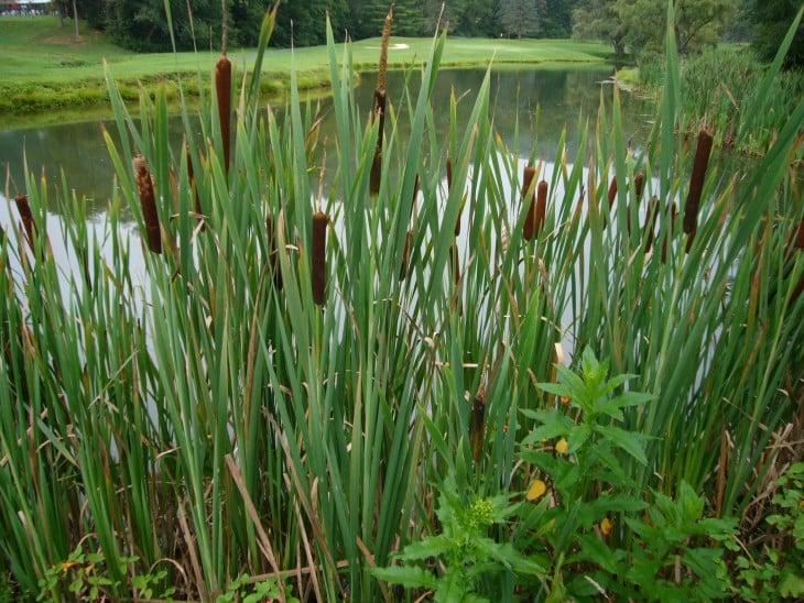 Bastones de hierba que crecen en pantanos