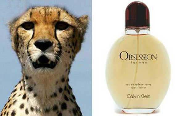 imagen de un guepardo junto a la de una fragancia obsession de calvin klein