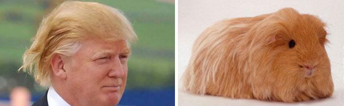 Foto de un cuyo junto a la de Donald Trump