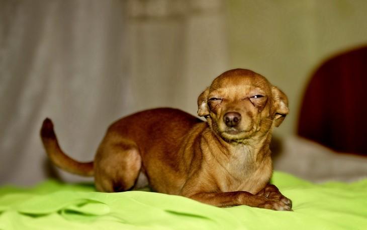 Perro chihuahua acostado con los ojos entrecerrados