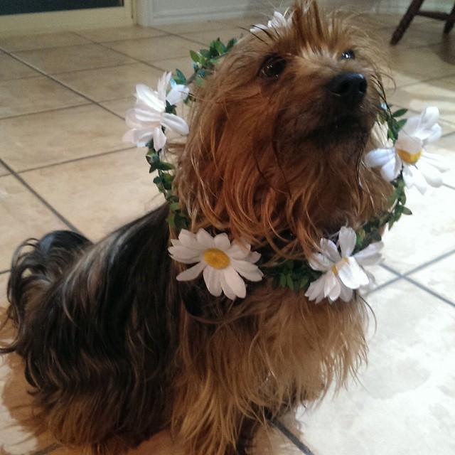 perrito sentado con una corona de flores artificiales en el cuello