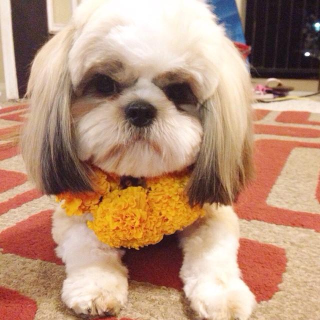 un pequeño perro blanco en el suelo con flores amarillas en el cuello