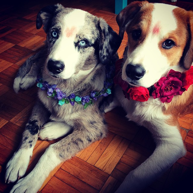 Dos perros acostados en el suelo con coronas de flores en el cuello