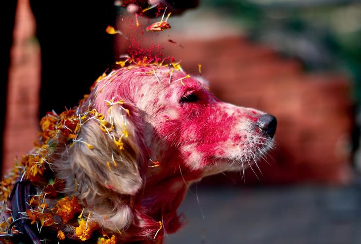 perro con la cabeza pintada de rojo en el Festival en Nepal