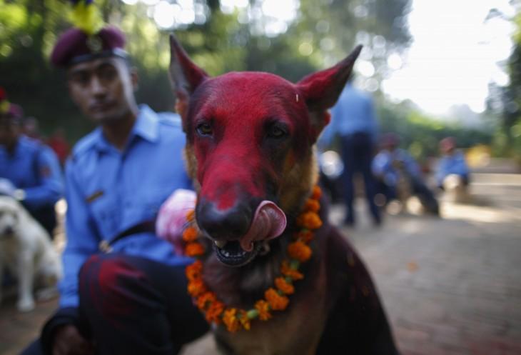 Perro pastor alemán con la cabeza pintada de color rojo