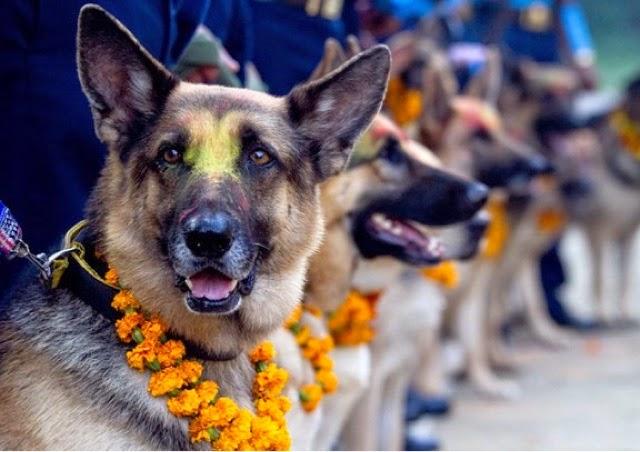 fila de perros pastor alemán en un festival de perros en Nepal