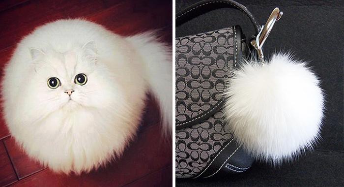 Gato que se parece a una bola blanca de peluche