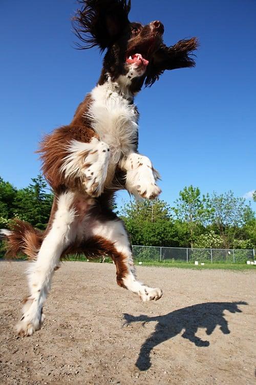 Fotografía de un perro saltando que parece estar gigante