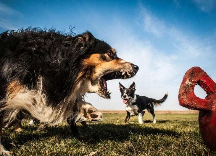 Perro que parece estarse comiendo a otro perro pequeño